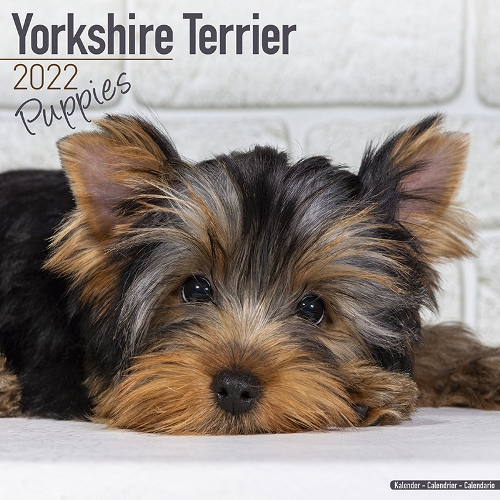 Calendrier Tan 2022 Yorkshire Terrier Puppy Calendar 2022 (Square)   Dogs Naturally