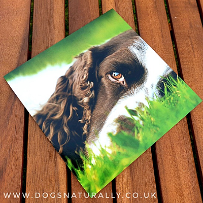 Springer Spaniel on the Grass Greetings Card