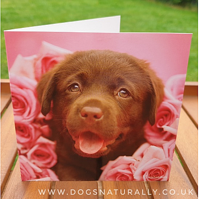 Chocolate Labrador Rachael Hale Greetings Card Dozer