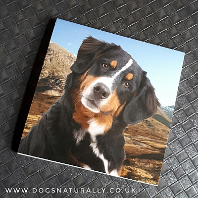Bernese Mountain Dog Magnetic Note Pad Square